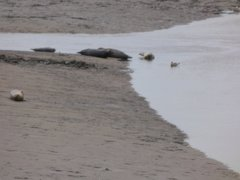 Seals At Seal sands 0010