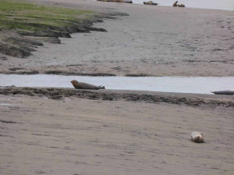 Seals At Seal sands 0011