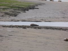 Seals At Seal sands 0013