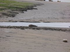 Seals At Seal sands 0014