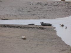 Seals At Seal sands 0015