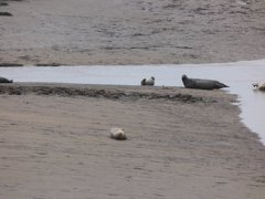 Seals At Seal sands 0017