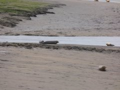 Seals At Seal sands 0018