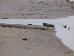 Seals At Seal sands 0020