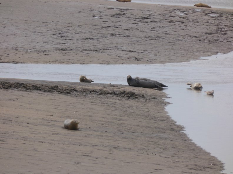 Seals At Seal sands 0021