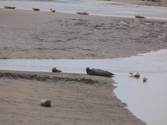 Seals At Seal sands 0022
