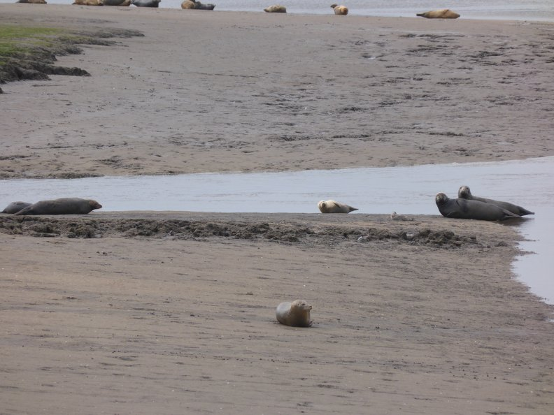Seals_At_Seal_sands_0029.jpg
