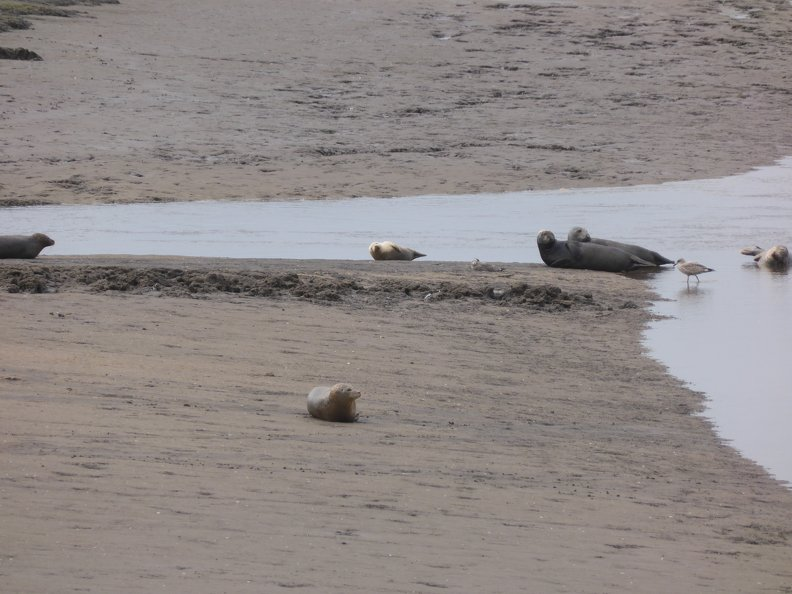 Seals_At_Seal_sands_0030.jpg
