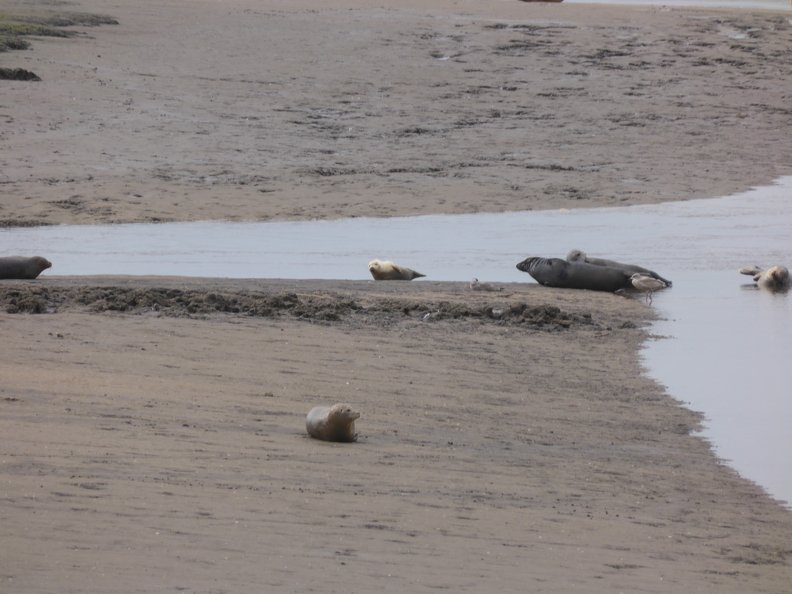 Seals At Seal sands 0031