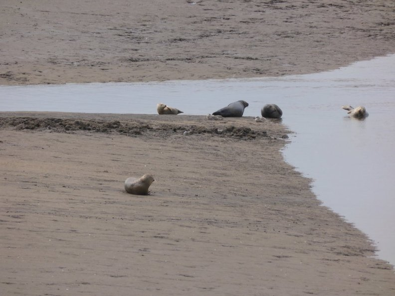 Seals At Seal sands 0032