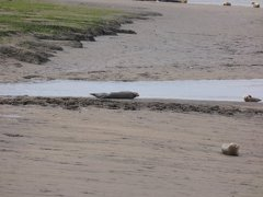 Seals At Seal sands 0035