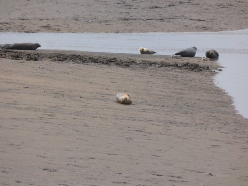 Seals At Seal sands 0039