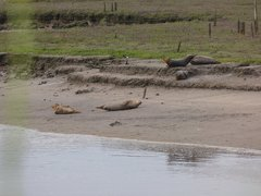 Seals At Seal sands 0040