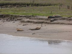 Seals At Seal sands 0042