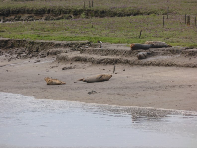 Seals_At_Seal_sands_0042.jpg