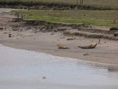 Seals At Seal sands 0043