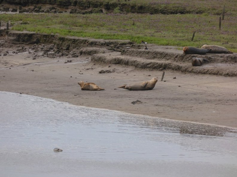 Seals_At_Seal_sands_0044.jpg