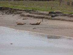 Seals At Seal sands 0045
