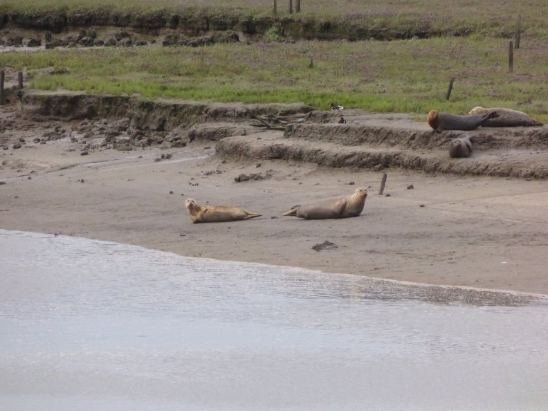 Seals At Seal sands 0047