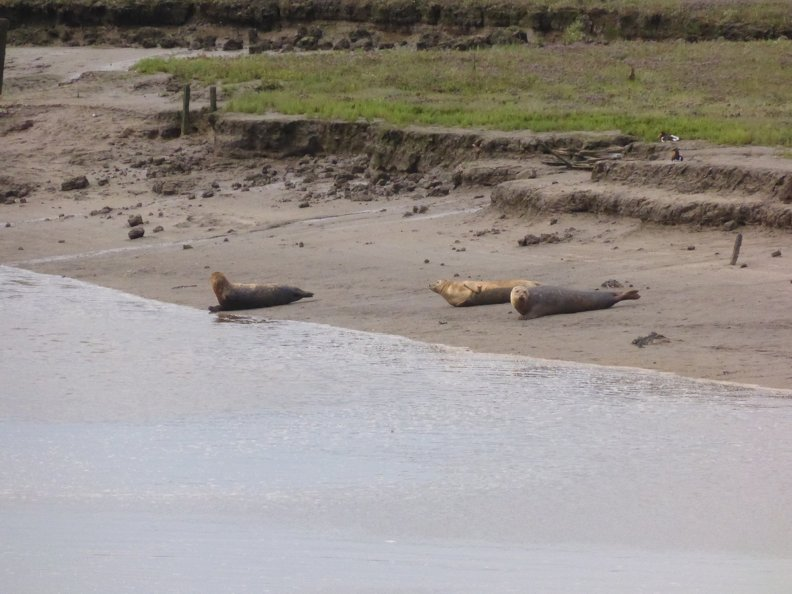 Seals At Seal sands 0050