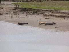 Seals At Seal sands 0051