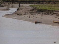 Seals At Seal sands 0052