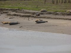 Seals At Seal sands 0055