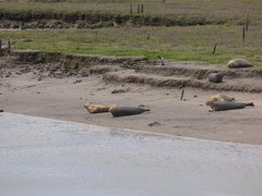 Seals At Seal sands 0056