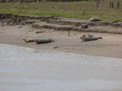 Seals At Seal sands 0058