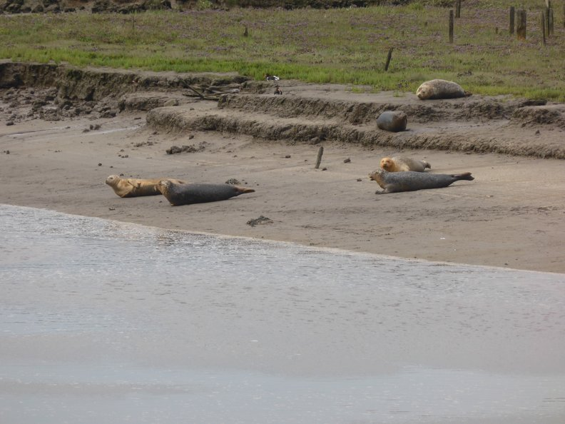 Seals_At_Seal_sands_0058.jpg