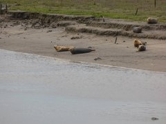 Seals At Seal sands 0060