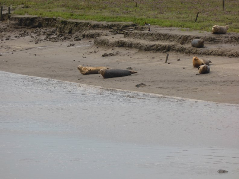 Seals_At_Seal_sands_0060.jpg
