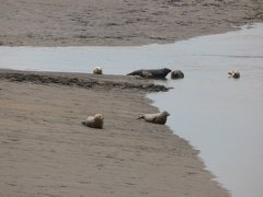 Seals At Seal sands 0064