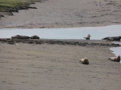 Seals At Seal sands 0067