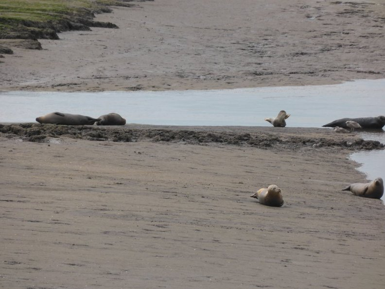 Seals_At_Seal_sands_0067.jpg