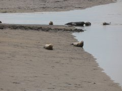 Seals At Seal sands 0070