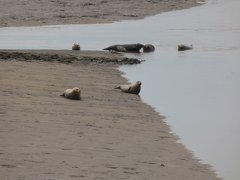 Seals At Seal sands 0071