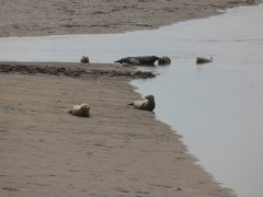 Seals At Seal sands 0072