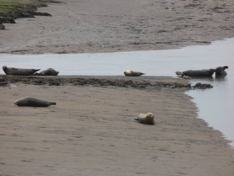 Seals_At_Seal_sands_0073.jpg