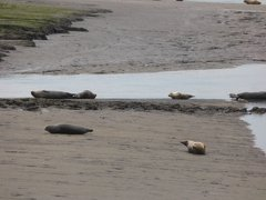 Seals At Seal sands 0074