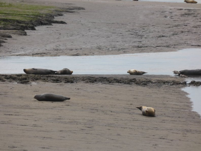 Seals_At_Seal_sands_0074.jpg