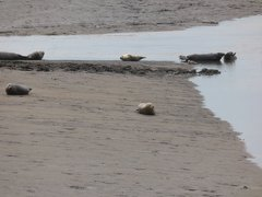 Seals At Seal sands 0076