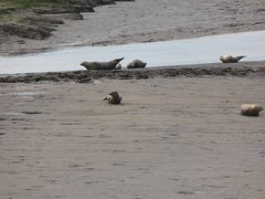 Seals At Seal sands 0077