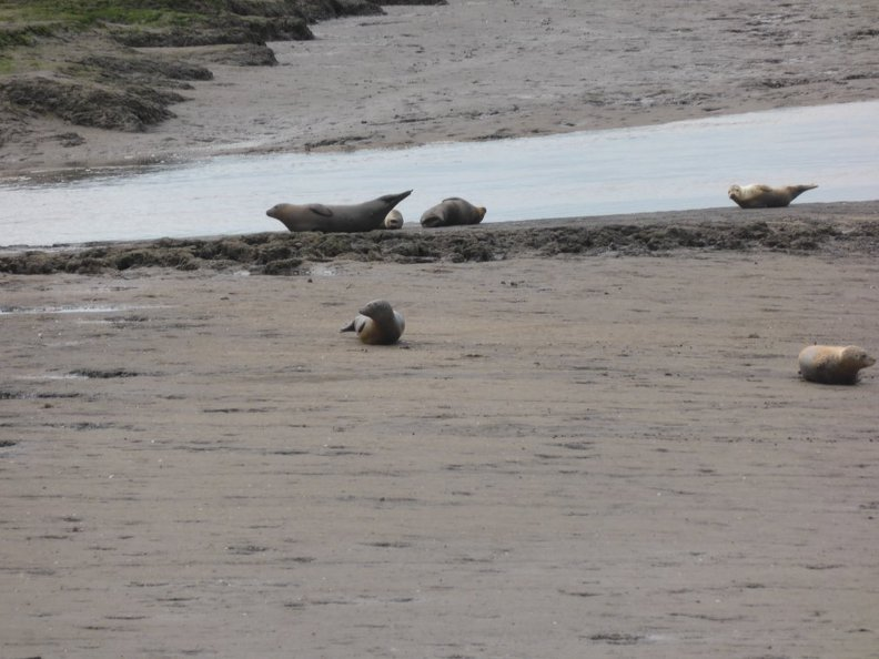 Seals_At_Seal_sands_0077.jpg