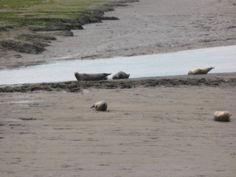 Seals_At_Seal_sands_0078.jpg