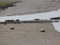 Seals At Seal sands 0079