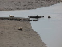 Seals At Seal sands 0081