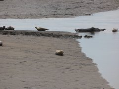 Seals At Seal sands 0082
