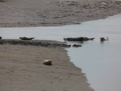 Seals At Seal sands 0083