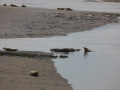 Seals At Seal sands 0084